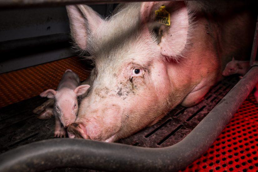 Im Schweinehochhaus in Maasdorf herrschen katastrophale Zustände. Das Deutsche Tierschutzbüro dokumentierte grausame Zustände. Ferkel werden mit voller Wucht gegen Wände geschmettert, Muttertiere getreten und misshandelt usw. Eine Hölle auf 6 Etagen. Das kranke Ausmaß einer ignorierenden Gesellschaft.